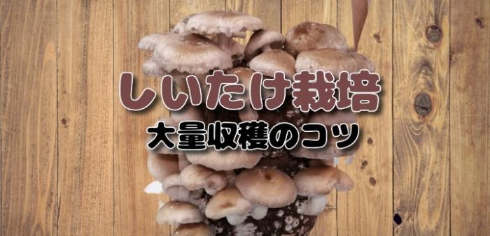 栽培 キット 椎茸 【楽天市場】【栽培容器付】しいたけ栽培キット もりのしいたけ農園